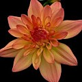 Dahlias - Art Group